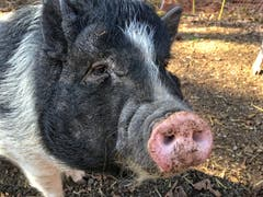 Miss Piggy ganz nah...(Bild: Toni Sieber)