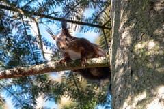 Dieses Eichhörnchen hat Keine Angst vor dem Fotografen. (Bild: Luciano Pau)