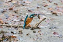 Altenrhein: Der Eisvogel ist ein geschickter Angler. (Bild: Edgar Huber)