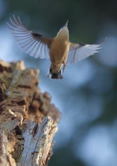 Der Kleiber hebt sich vom morschen Baumstamm ab in die Lüfte. (Bild: Hans Aeschlimann)