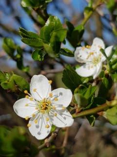 Die ersten Bäume blühen in Mostindien. (Bild: Reto Schlegel)