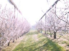 Die Apfelblüten spriessen, fotografiert in Ermatingen. (Bild: Nicolas Giovanettoni)