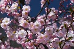 Mandelblüten-Pracht. (Bild: Mattias Dolder)