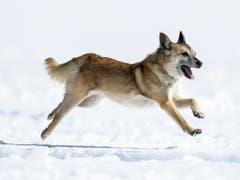 Hündin Flo in Aktion an den Schweizer Meisterschaften der Lawinenhunde im Berner Oberland. (Bild: KEYSTONE/ANTHONY ANEX)