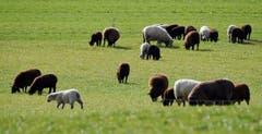 Erstes Grünfutter für die Schafe in Hauptwil. (Bild: Walter Schmidt)