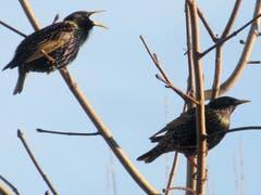 Stare sitzen auf den Zweigen, gesehen in Gossau. (Bild: Claudine Germann)