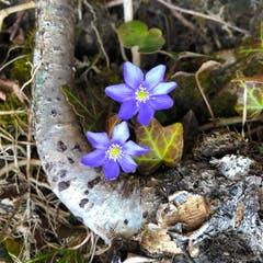 Die ersten Waldblümchen sind immer die schönsten! (Bild: Niklaus Roher, Sachseln, 6. März 2019)
