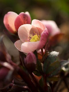 Lenzrosen öffnen ihre Blüten im zeitigen Frühling. (Bild: Priska Ziswiler, Ettiswil, 6. März 2019)