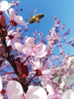 Ein japanischer Pflaumenbaum mit einer Biene. (Bild: Stella Ernst)