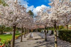 Frühlingsstimmung beim Friedhof Zug. (Bild: Daniel Hegglin, 9. April 2019)