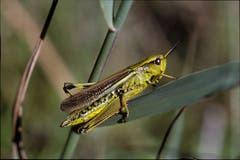 Die Sumpfschrecke (Stethophyma grossum). Bild: Albert Krebs