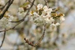 Die Kirschbäume über dem Sempachersee stehen in voller Blüte. (Bild: Irene Wanner, Schenkon, 11. April 2019)