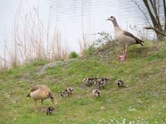 Am Alten Rhein bei Diepoldsau tummeln sich die Nilgänse mit ihren Jungen. (Bild: Ruth Zoller-Beier)