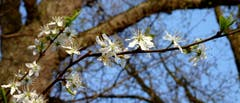 Frühlingsblüten in Münchwilen. (Bild: Stephan Lendi)