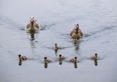 Die Nilganskinder sind in der Schwimmschule am Altenrhein. (Bild: Ruth Zoller-Beier)