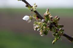 Der Frühling ist in Lommis angekommen. (Bild: Thomas Segenreich)