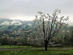 Blühender Baum weiss angezuckert. (Bild: Urs Gutfleisch, Malters, 14. April 2019)