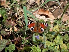 Dieser Schmetterling mit der Bezeichnung «Tagpfauenauge» passt farblich perfekt in diese Umgebung. (Bild: Margrith Röthlin-Imhof (Luzern, 8. April 2019))
