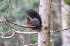 Hungriges Eichhörnchen in Herisau. (Bild: Luciano Pau)