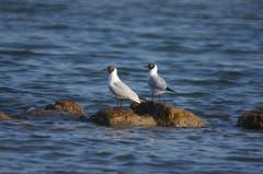 Ein schönes Paar am Bodensee. (Bild: Toni Sieber)