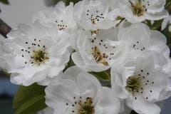 Birnbaum-Blütenzauber im Thurgau. (Bild: Max Thalmann)