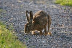 Das muss der Osterhase sein, der hier bei Altstätten vorbei hoppelt! (Bild: Toni Sieber)