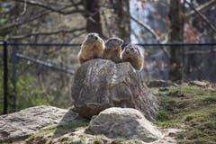 Freuen sich über die warmen Temperaturen: Die Murmeltiere sind in diesem Jahr so früh aus dem Winterschlaf erwacht, wie noch nie. (Bilder: Adriana Ortiz Cardozo)
