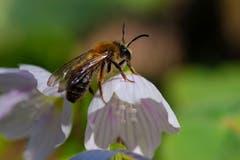 Emsige Waldbiene auf einer Sauerkleeblüte. (Bild: Franz Häusler)