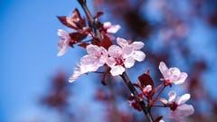 «Mir gefallen die Frühlingsfarben sehr», kommentiert der Leser dieses Foto. (Bild: Markus Suppiger, Sursee, 15. April 2019)