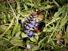 Diese Wiesenhummel ist unermüdlich mit dem Bestäuben der Blüten beschäftigt. Bild: Margrith Imhof-Röthlin (Küssnacht, 18. April 2019)