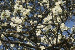 Ein alter Kirschbaum in Blüte. (Bild: Irma Kugler)