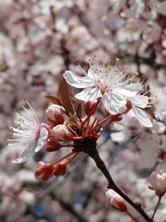 Blütenmeer in einer Obstanlage in Sitterdorf. (Bild: Reto Schlegel)