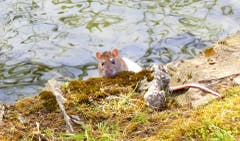 Für einmal kein Wasservogel. Wer wurde wohl mehr überrascht, die Ratte oder der hinter der Kamera? (Bild: Walter Buholzer, Hans Erni Quai, 17. April 2019)