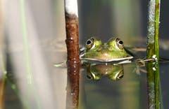 Frosch. (Bild: Marianne Schmid, Ettiswil, 20. April 2019)