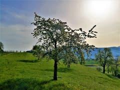 Blühender Baum in der Naturlandschaft. (Bild: Urs Gutfleisch, Meierskappel, 22. April 2019)