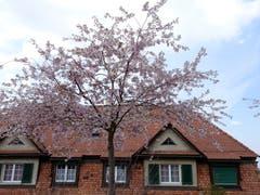 Kirschblüten in voller Pracht in Schoren. (Bild: Doris Sieber)