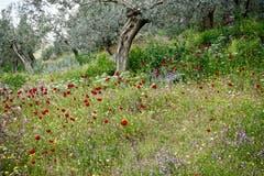 Eine wunderschöne Blumenwiese mit dunkelrotem Mohn. (Bild: Ruedi Dörig)