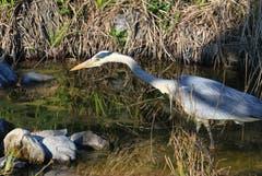 Beutezug im Teich. (Bild: Alois Georg Aschwanden)