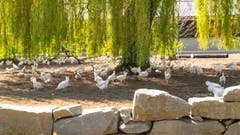 Das freut den Osterhasen. Hier wird frei gelaufen und erst noch im Schatten einer enormen Trauerweide. (Bild: Franz Häusler)