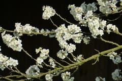 In voller Blüte...(Bild: Erwin Fehr)