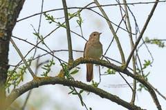 Ein unaufälliger Vogel, der sich gerne versteckt aufhält, dafür ein wunderschöner Gesang: Die Nachtigall. (Bild: Marianne Schmid, Cudrefin, 21. April 2019)