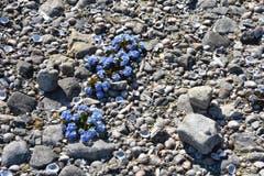 Jetzt blühen sie wieder, die selten gewordenen Bodensee-Vergissmeinnicht bei Münsterlingen. (Bild: Iddamarie Felkay)