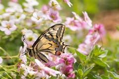 Papilio machaon, Wunder der Natur. Der erste Schwalbenschwanz ist heute geschlüpft und losgeflogen. Er hat den Winter verpuppt in unserem Garten verbracht. (Bild: Priska Ziswiler-Heller, Ettiswil, 24. April 2019)