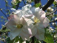 Boskoop-Blüten in Montlingen. (Bild: Toni Sieber)