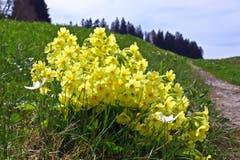 Eine Handvoll Frühling bei Eggersriet. (Bild: Walter Schmidt)