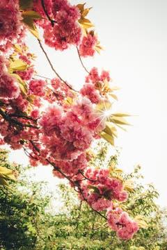 Kirschblüte in Mörschwil. (Bild: Marc Bollhalder)