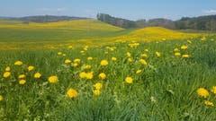 Der Mai blüht schon kräftig im April. (Bild: Margrit Sutter)