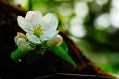 Apfelblüte in Oberandwil. (Bild: Thomas Ammann)
