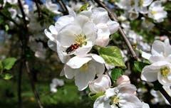 Zottiger- oder Gemeiner Bienenkäfer in Eschenz. (Bild: Alois Georg Aschwanden)