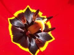 Innenleben einer Tulpe. (Bild: Toni Sieber)